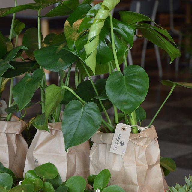Nu har vi laddat upp med härliga gröna växter i vår popup på Järntorgsgatan 6