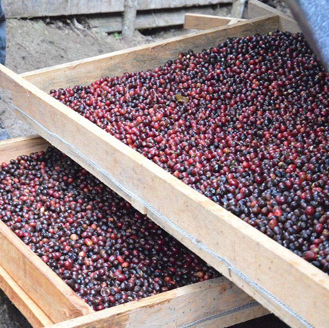 Nu finns ett nytt avsnitt av podcasten Mattjat. Hör kafferostare @pernordby berätta om bl a processen från  kaffebär till kaffeböna. Ladda hem Mattjat till din podcastapp eller lyssna på https://www.redbean.se/category/mattjat/
